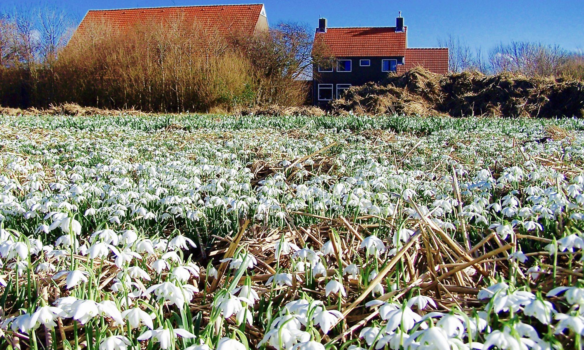 Sneeuwklokjes op Texel